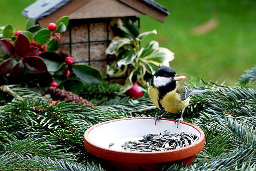 Animal, Bird, Tit, Parus Major, Meal, Eat, Lining Plate
