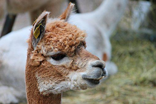 Alpaca, Brown, Young, Lama, Camel, Paarhufer, Animal