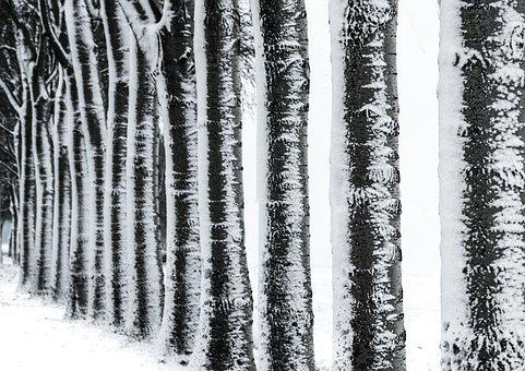 Row, Trees, Nature, Birch, Black And White, Cold, Snow