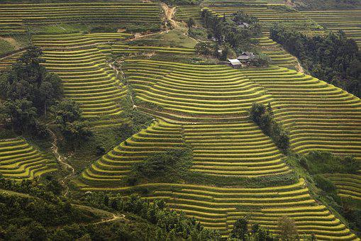 Vietnam, Rice, Rice Field, Kathy, Step, Travel
