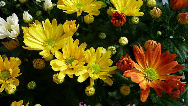 Asters, Flower, Colorful, Bed, Flowers, Yellow, White