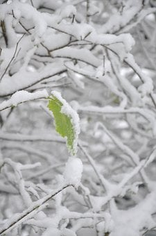 Snow, Leaf, Tree, Winter, Nature, Season, White, Cold
