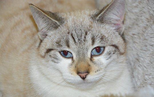 Cat, Young Cat Blue Eyes, Cat Eyes, Animal, Blue Eyes