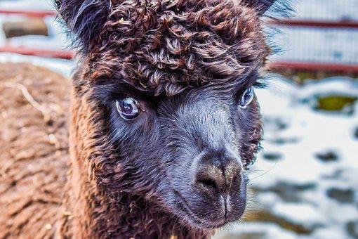 Alpaca, Animal, Llama, Mammal, Nature, Cute, Peru, Wool