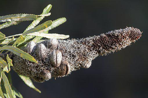 Banksia, Plant, Flower, Australia, Botany, Botanical