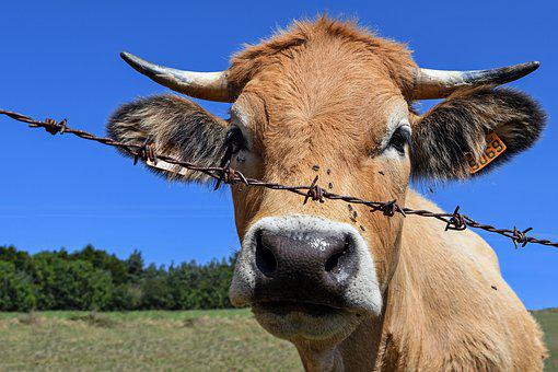 Cow, Barbed, Head, Rousse, Livestock