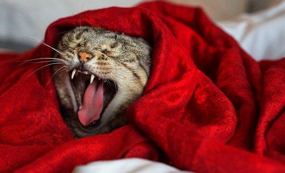 Yawning, Cat, Feline, Teeth
