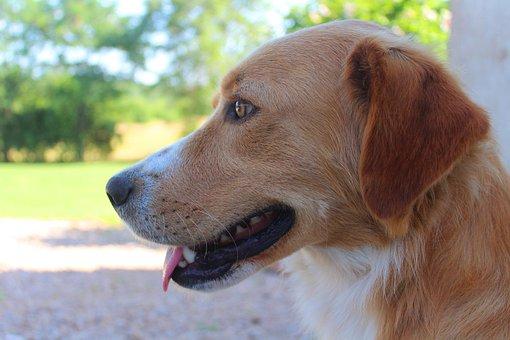 Dog, Orange, Smile, Smiling, Tongue Lolling, Happy, Pet