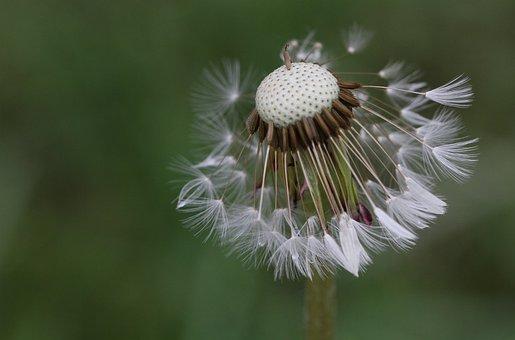 Dandelion, Seeds, Flower, Macro, Field, Plant, Plants