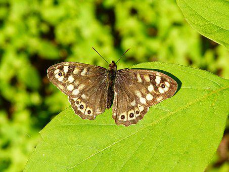 Animal, Insect, Butterfly, The Sump Egeria, Foliage