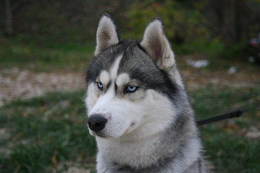 Husky, Blue Eyes, Breeds Of Dogs, Dog, Animal, Siberian