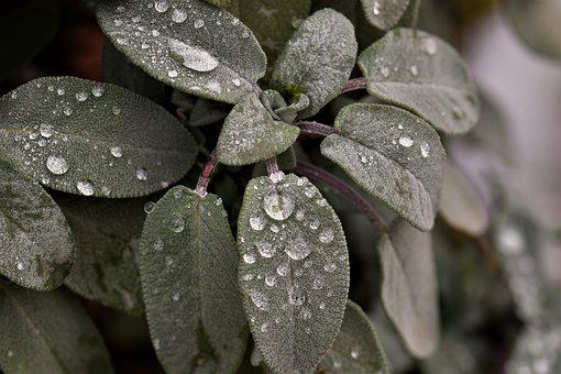 Sage, Plant, Raindrop, Dewdrop, Green, Leaves