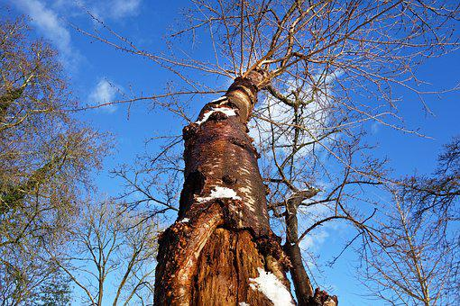 Tree, Tree Trunk, Bark, Bare Branch, Winter Tree, Snow