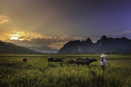 Sunset, Field, Twilight, Herd Of Buffalo, Farmer, Women