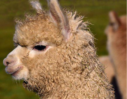 Alpaca, Mammal, Animal, Fur, Nature, Animal World
