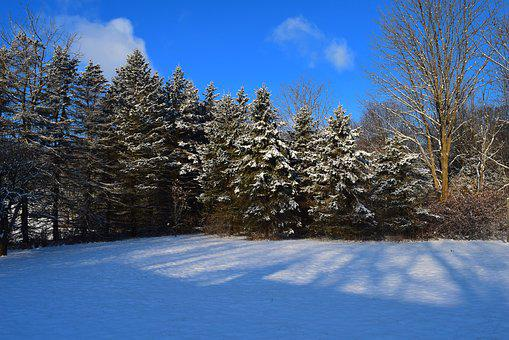 Pine Trees, Snow, Winter, Cold, Frost, Tree, Landscape
