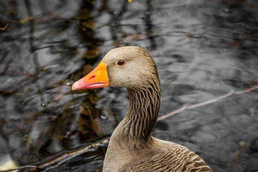 Nature, Bird, Animal World, Duck, Animal, Spring
