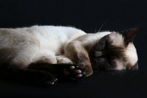 Mammal, Cute, Cat, Pet, Animal, Siamese Cat, Sleeping