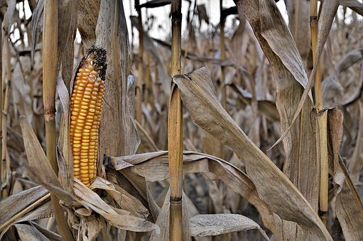 Corn Ordinary, Nature, Eating, Farm, Straw, Old Corn
