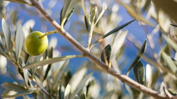 Olive, Tree, Olive Tree, Nature, Fruit, Green, Branch