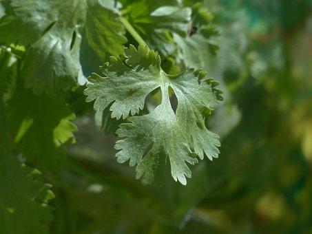 Real Coriander, Coriander, Kitchen Herb, Plant, Leaves