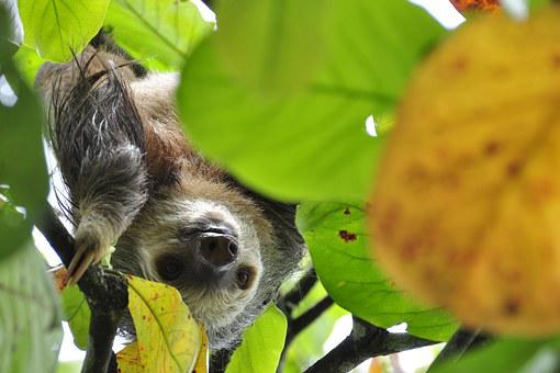 Sloth, Two Toes Sloth, Rainforest, Jungle, Tropical
