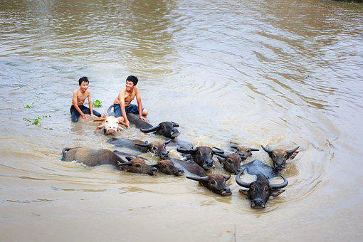 Child, Buffalo, Wave, Animal, Play, Asian, Big, Water