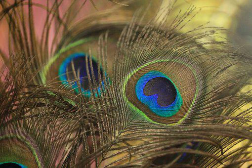 Feather, Peacock, Bird, Peafowl, Pattern, Color