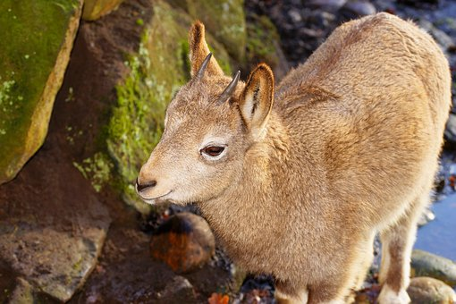 Capricorn, Young Animal, Nature, Mammal, Animal World