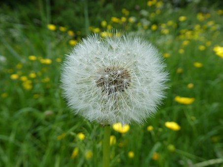 Nature, Summer, Plant, Dandelion