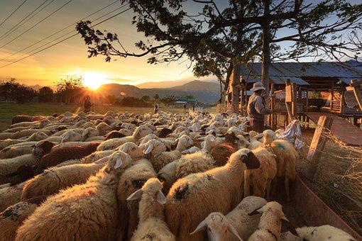 Sheep, Shepherd, Farmer, Ninh Thuan, Flock, Page, Asia