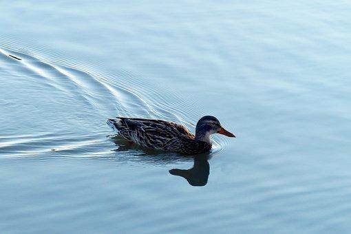 Bird, Lake, Waters, Puddle, Nature, Water Bird, Mallard