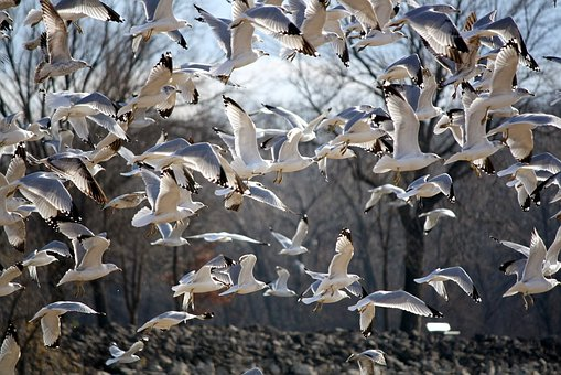 Birds, Gulls, Seagull, Fly, Waterfowl, Wing, Nature