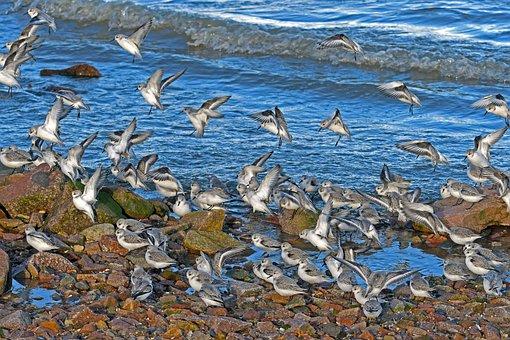 Sanderlings, Landing, Calidris Alba, Nature, Sea