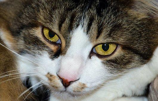 Cat, Domestic Cat, Head, Eyes, Cat's Eyes, View, Close