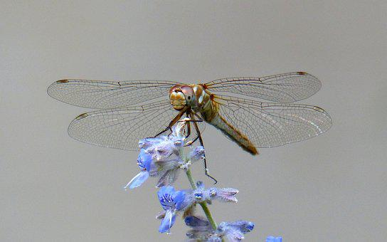 Animal, Insect, Dragonfly, Wings, Nature