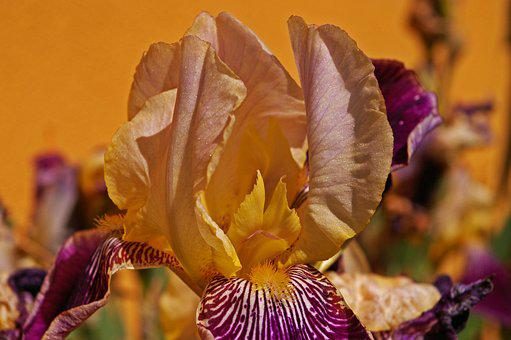 Iris, Lily, Flower, Blossom, Bloom, Nature, Iridaceae