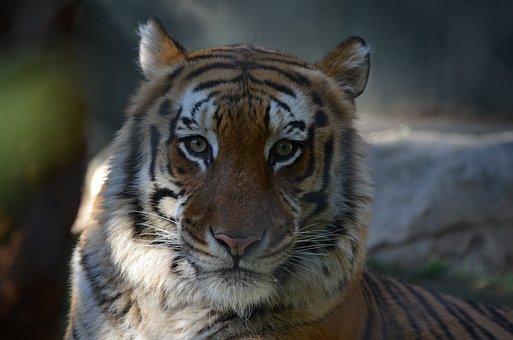 Wildlife, Mammals, Tiger, Nature, Feline, Animal