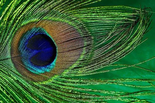 Peacock Feather, Macro, Peacock, Bird, Close, Blue