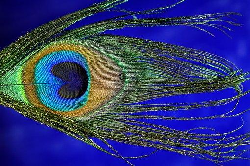 Peacock Feather, Macro, Peacock, Bird, Spring, Close