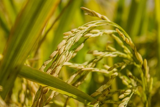 Flora, Growth, Cereal, Agriculture, Crop, Rice, Paddy