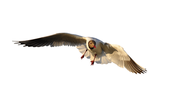 Animal, Bird, Seagull, Fly, Isolated, Wing, Freedom