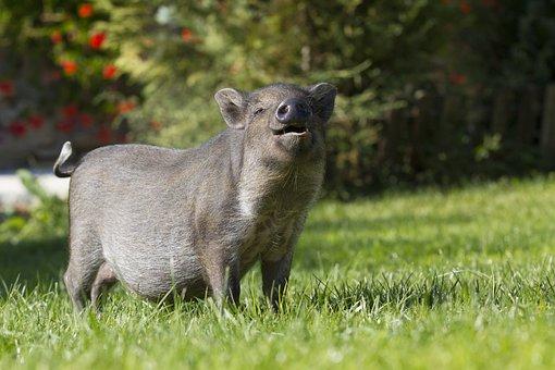 Pig, Piggy Bank, Wild Boar, Animal, The Bristles, Snout
