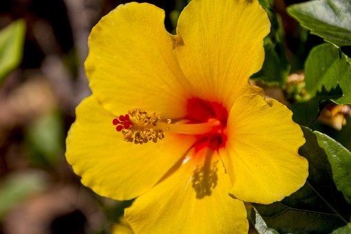 Hibiscus, Yellow Flower, Flowers, Nature, Yellow