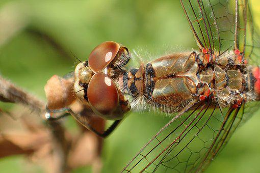 Insect, Nature, Animal, Dragonfly, Wing, Eyes