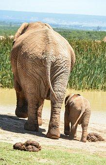 Elephant, Baby Elephant, Waterhole, Wildlife, Park