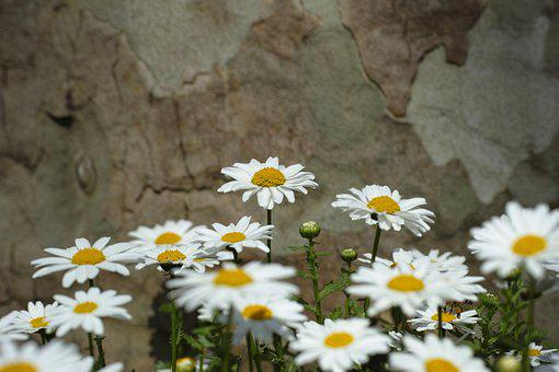 Daisy, Flower, Nature, Yellow, White, Beautiful