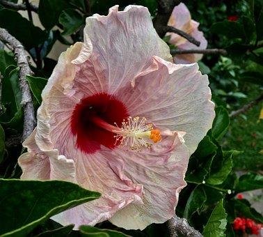 Ibisco, Pink Petals, Flower, Spring, Pink Flower