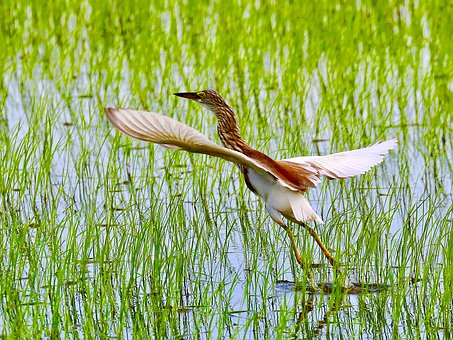 Egret, Bird, Wings, Flying, Rice Field, Animal, Nature