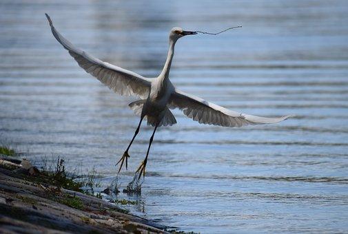 Heron, Bird, Flight, Fly, Animal World, Nature, Pond